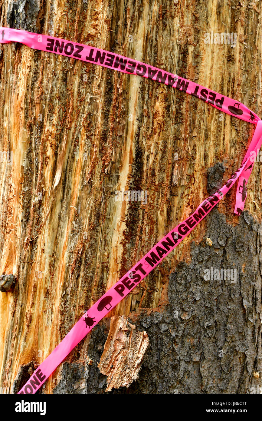 A close up of a pine tree trunk that has been affected with a pine beetle infestation and has the tree bark peeled - Stock Image
