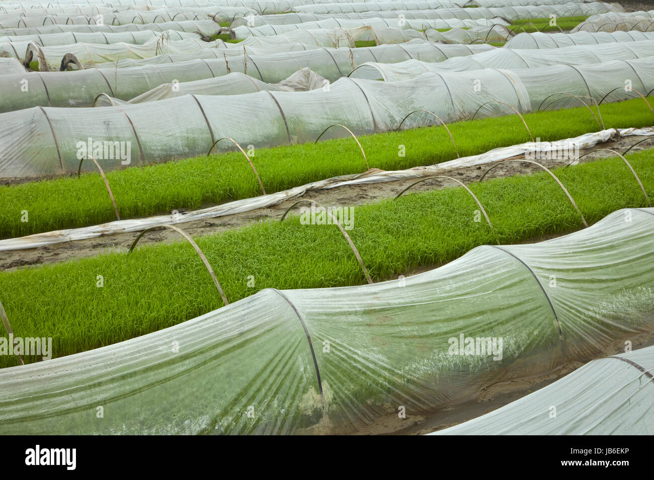 Rice nursery, Van Lam, Ninh Hai, near Ninh Binh, Vietnam Stock Photo