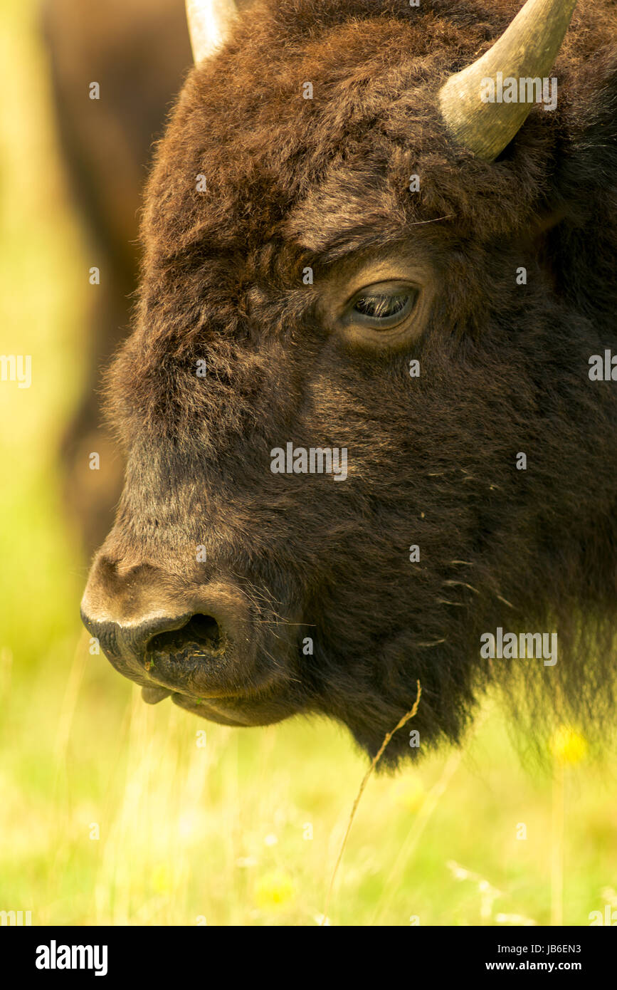 American Bison close ups - Stock Image