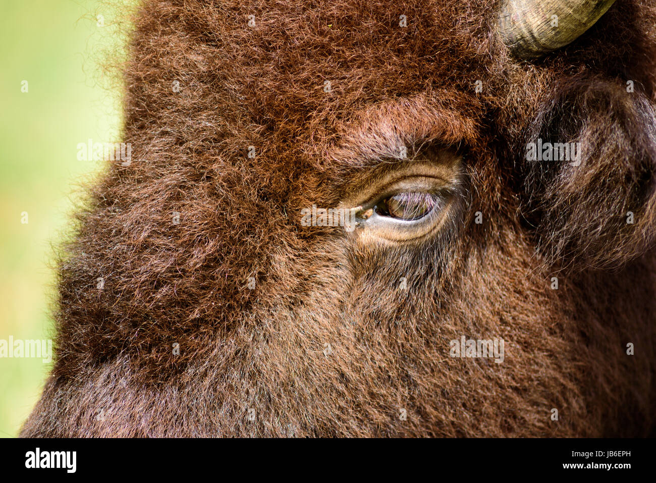 American Bison have poor eyesight and acute hearing an enhanced sense of smell. - Stock Image