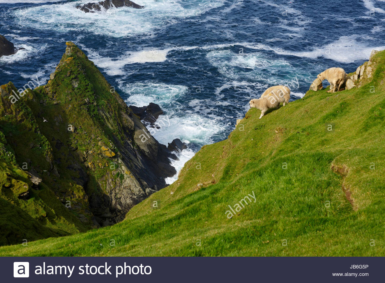 Sheep on the cliffs of Hermaness, Unst, Shetland - Stock Image