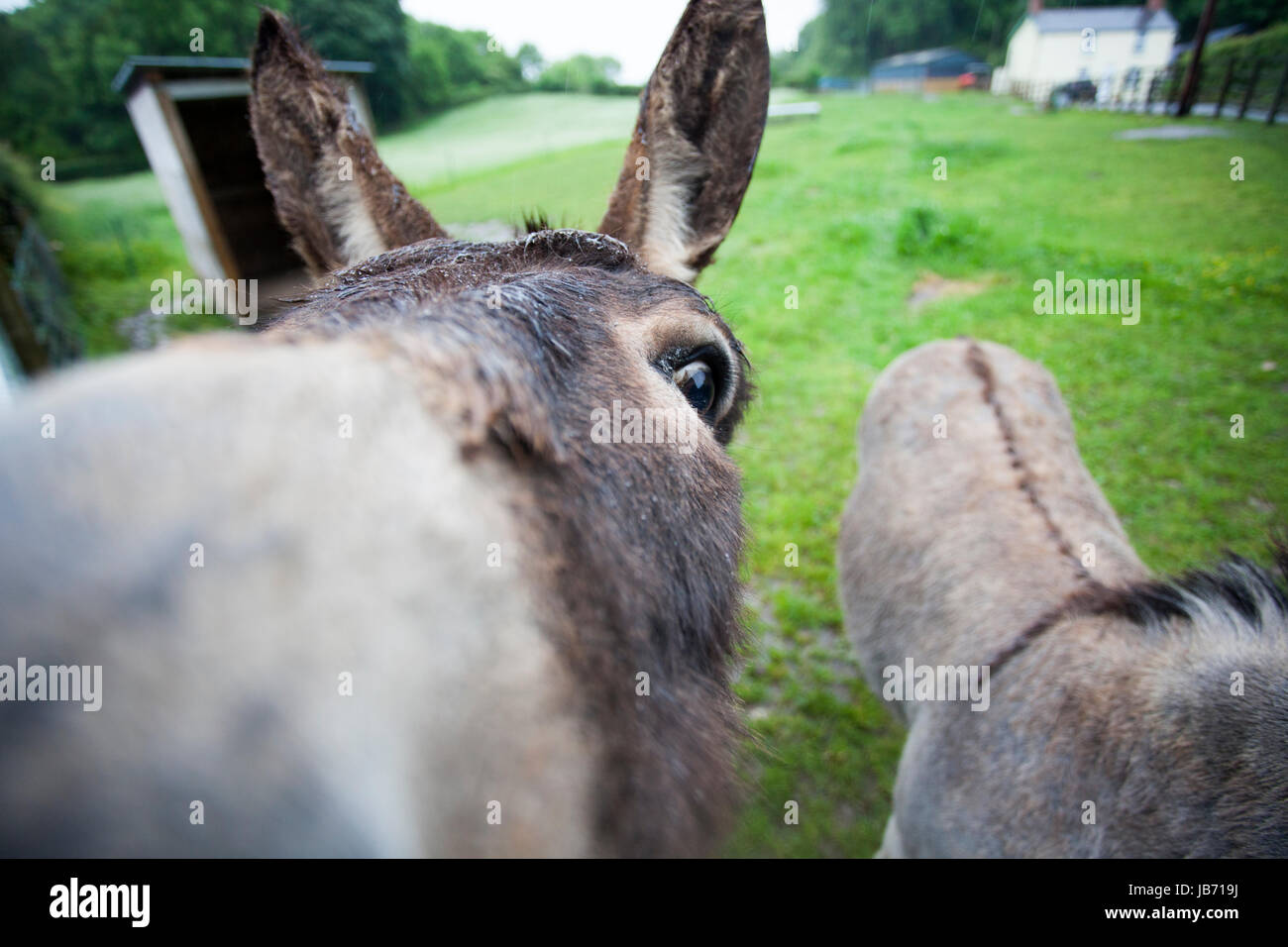 Welsh farmer's donkeys George and Sam looking into the camera of a wet and windy day with farm cottage in the background, Stock Photo