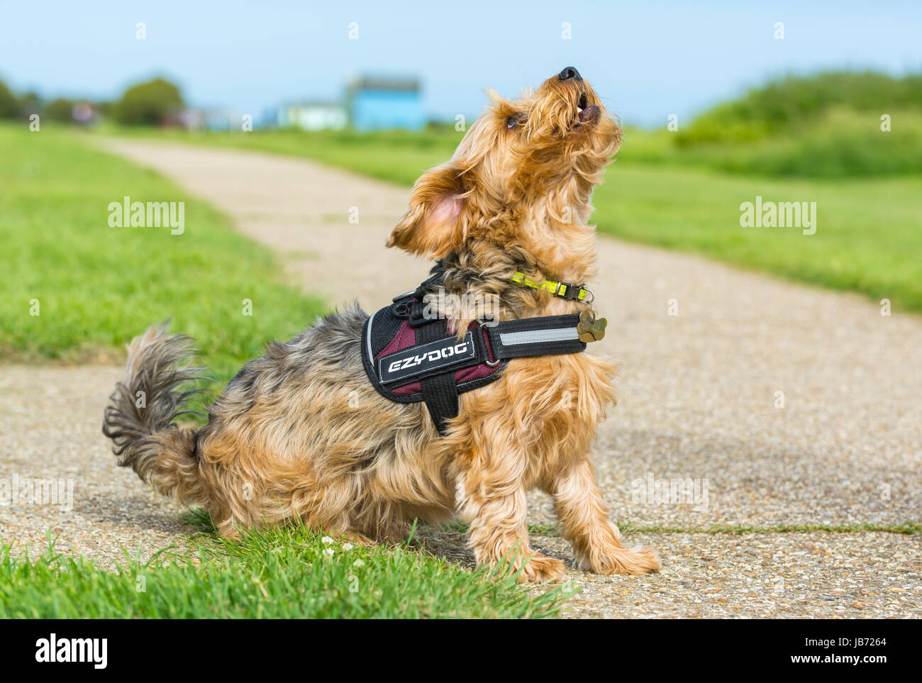 Dog sitting. Yorkshire Terrier crossed with Border Collie dog sitting looking at owner. - Stock Image