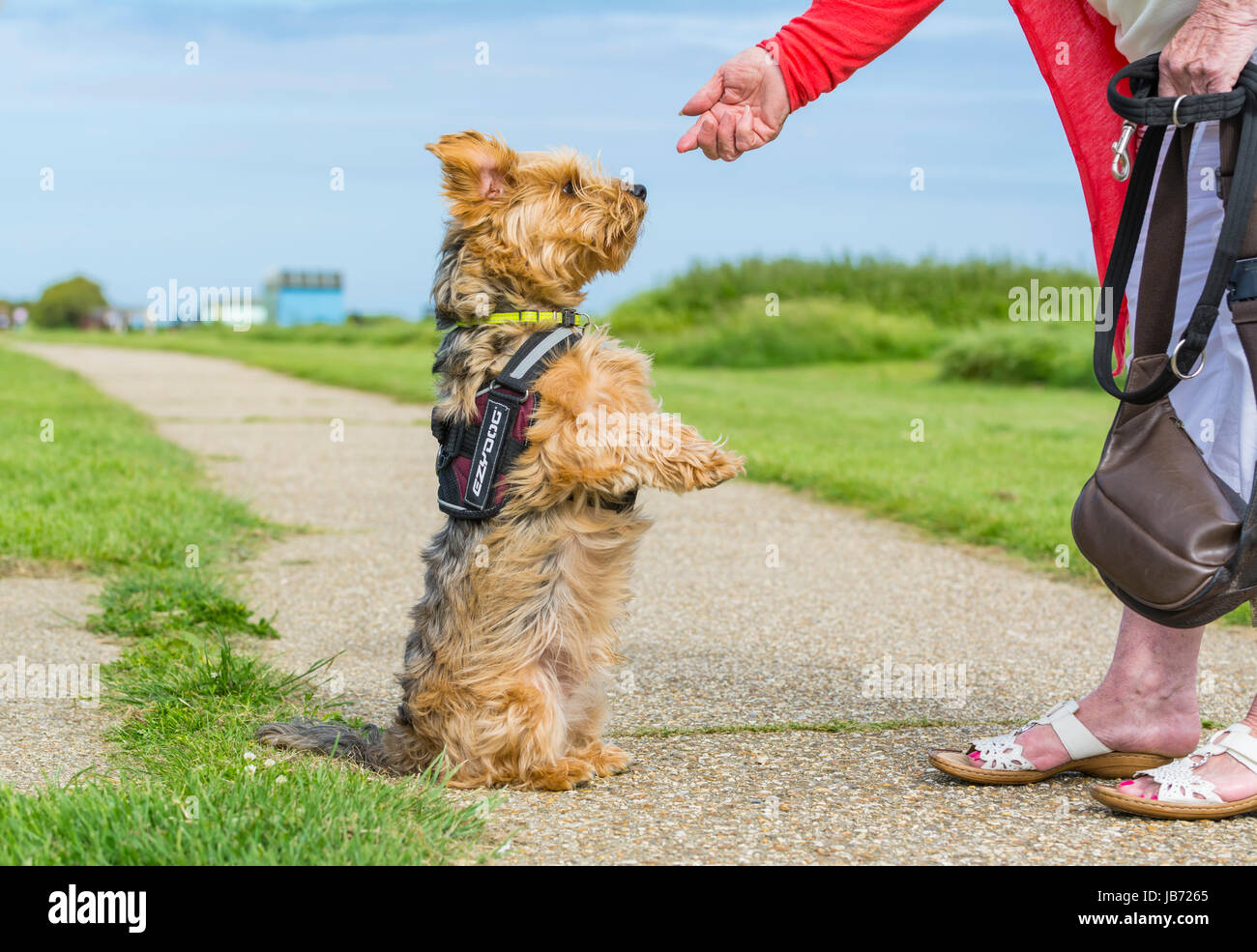 Dog on hind legs. Yorkshire Terrier crossed with Border Collie dog awaiting food from owner. - Stock Image