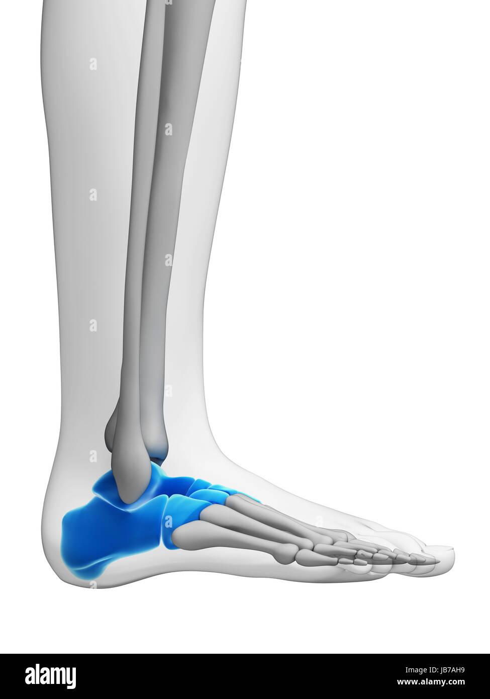 3d rendered illustration - tarsal bones - Stock Image