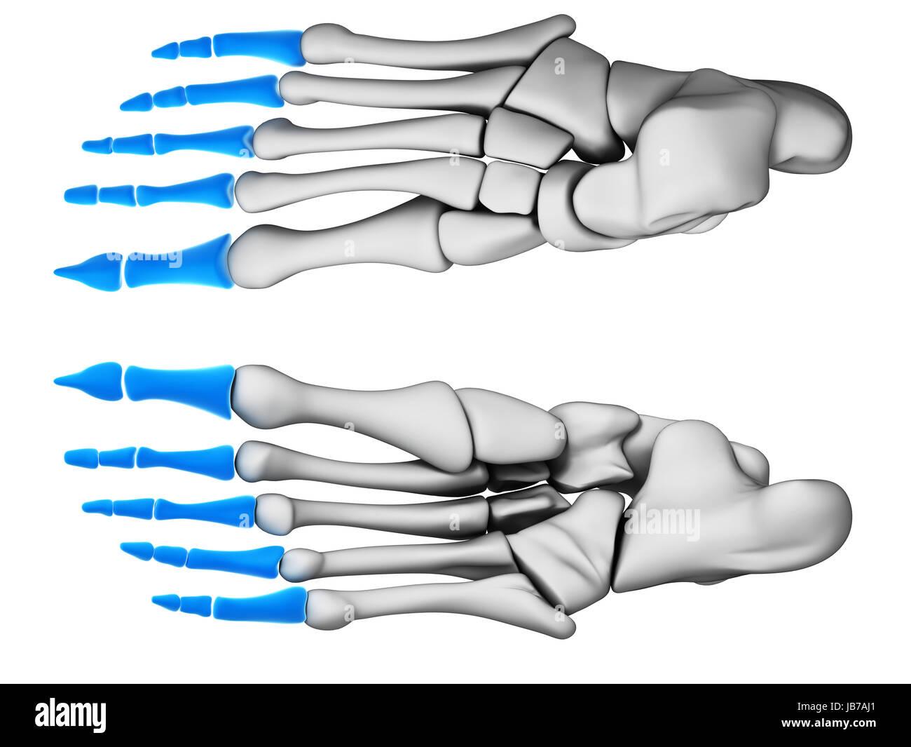 3d rendered illustration - phalanges - Stock Image