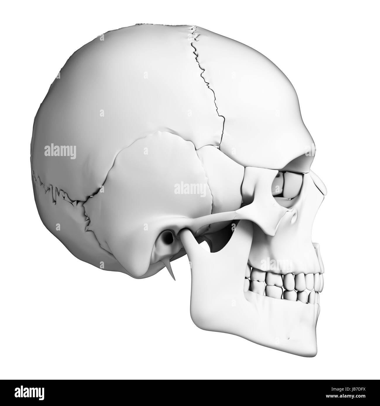3d Rendered Illustration Human Skull Anatomy Stock Photo