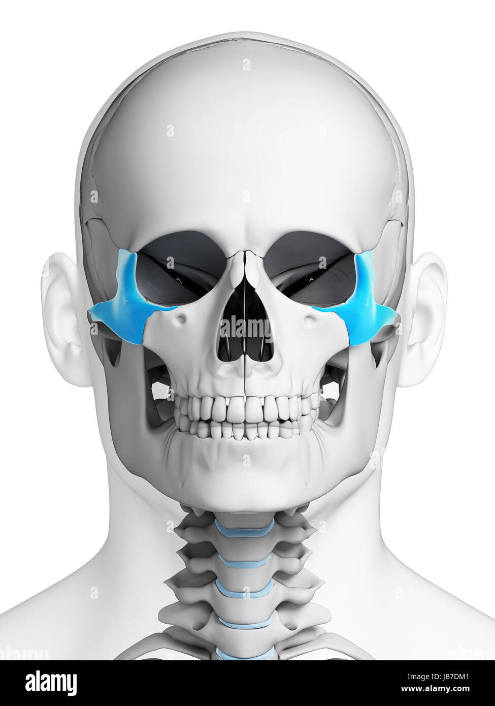 Zygomatic Bone Stock Photos Zygomatic Bone Stock Images Alamy