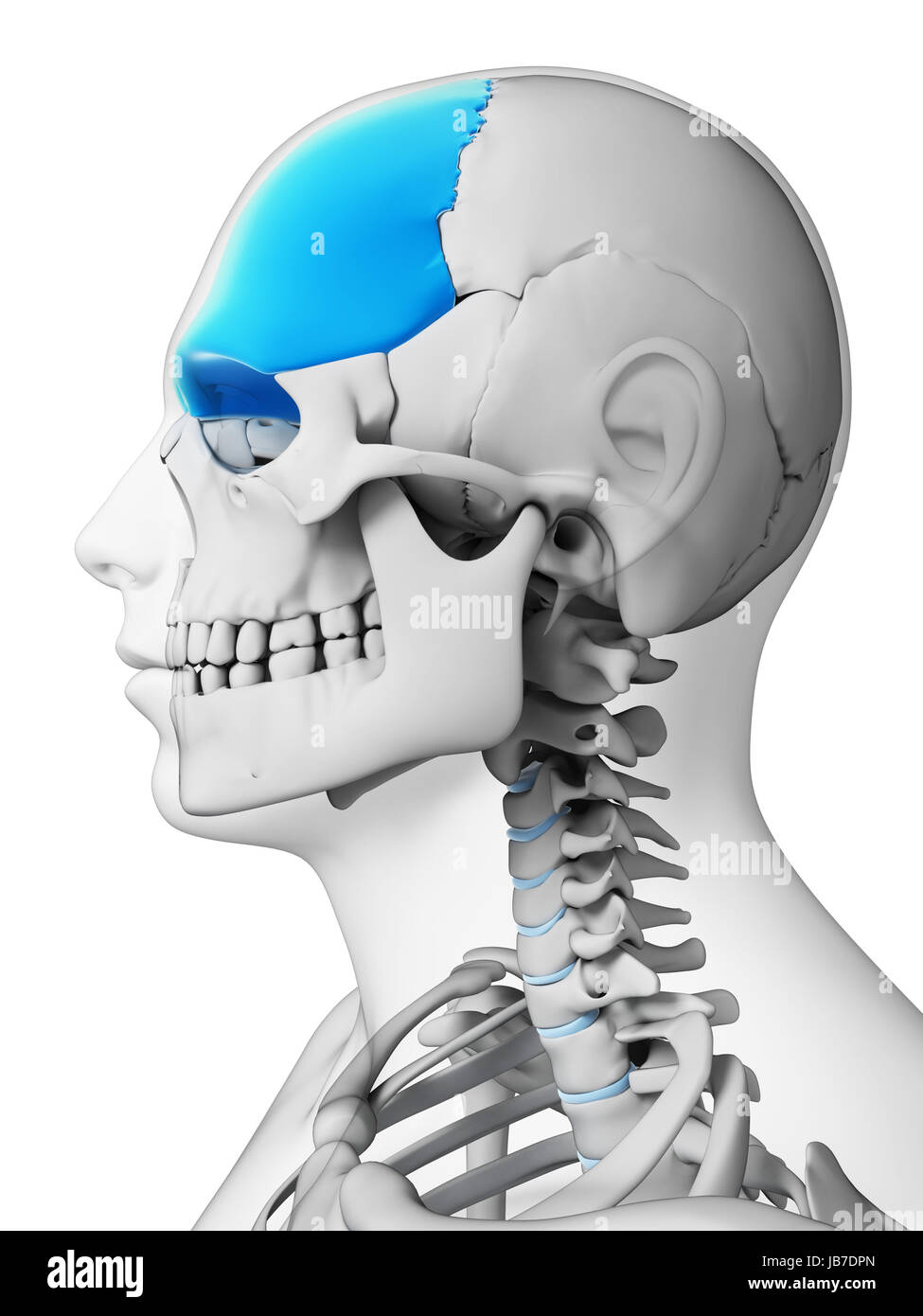 Frontal Bone Stock Photos Frontal Bone Stock Images Alamy