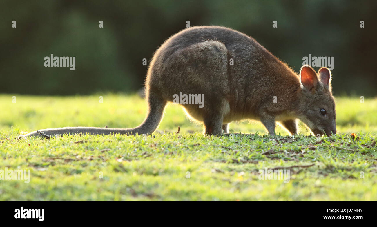 A Pademelon backlit while feeding in Lamington National Park. - Stock Image