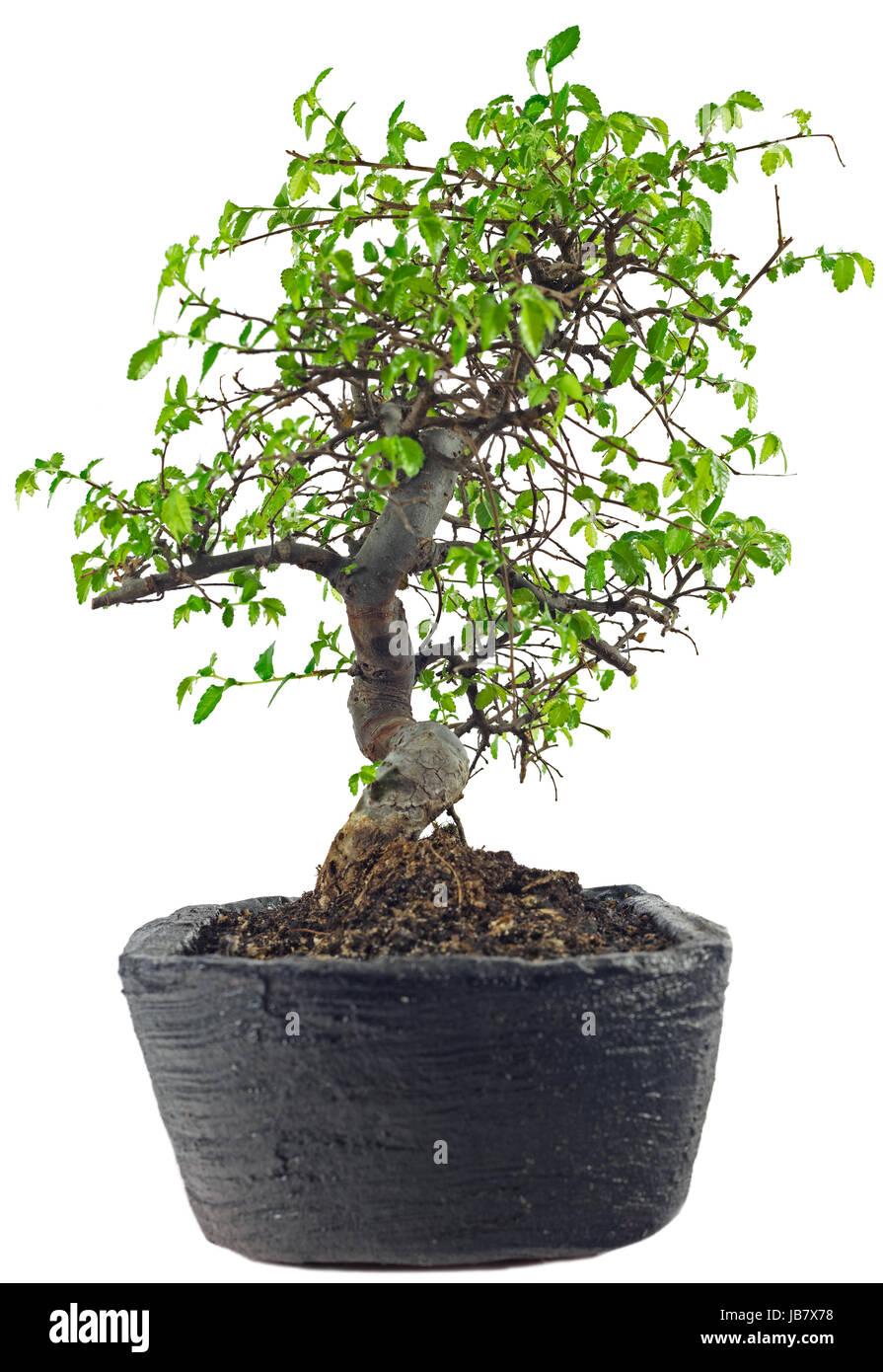bonsai schale stock photos bonsai schale stock images. Black Bedroom Furniture Sets. Home Design Ideas