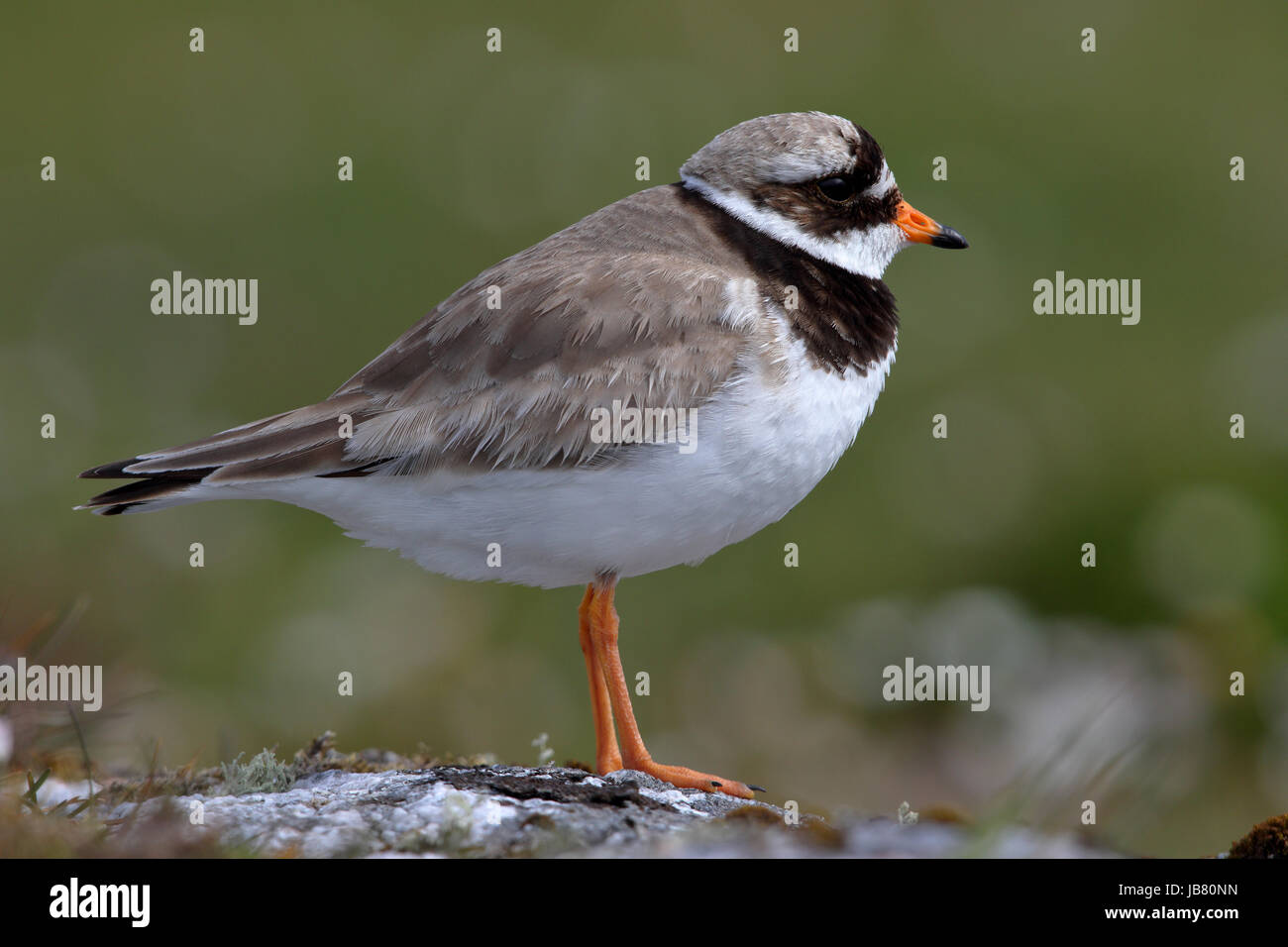 Ringed Plover Charadrius hiaticula breeding female away from nest area while male takes over incubating - Stock Image