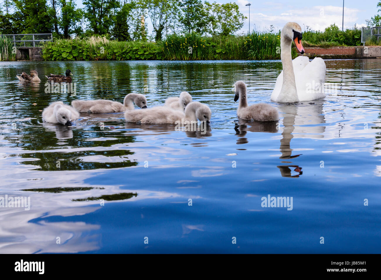 Female mute swan with five 5 cygnets swimming in a lake - Stock Image