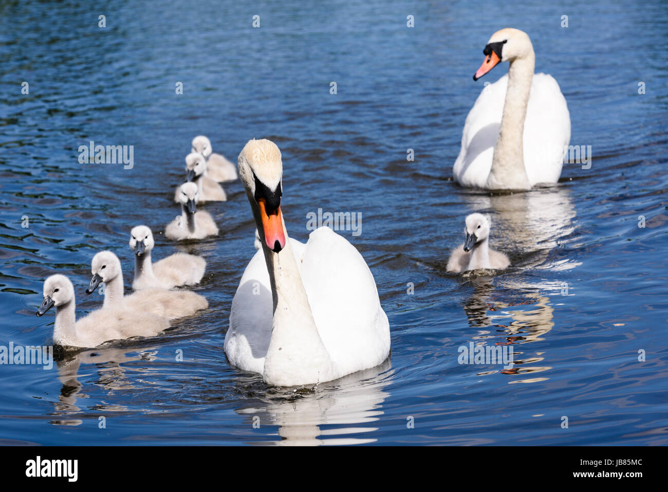 Male and female mute swans with eight 8 cygnets swimming in a lake Stock Photo