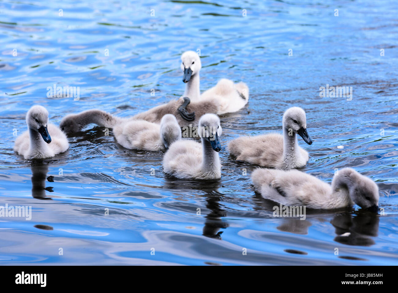Seven 7 mute swan cygnets swimming in a lake - Stock Image