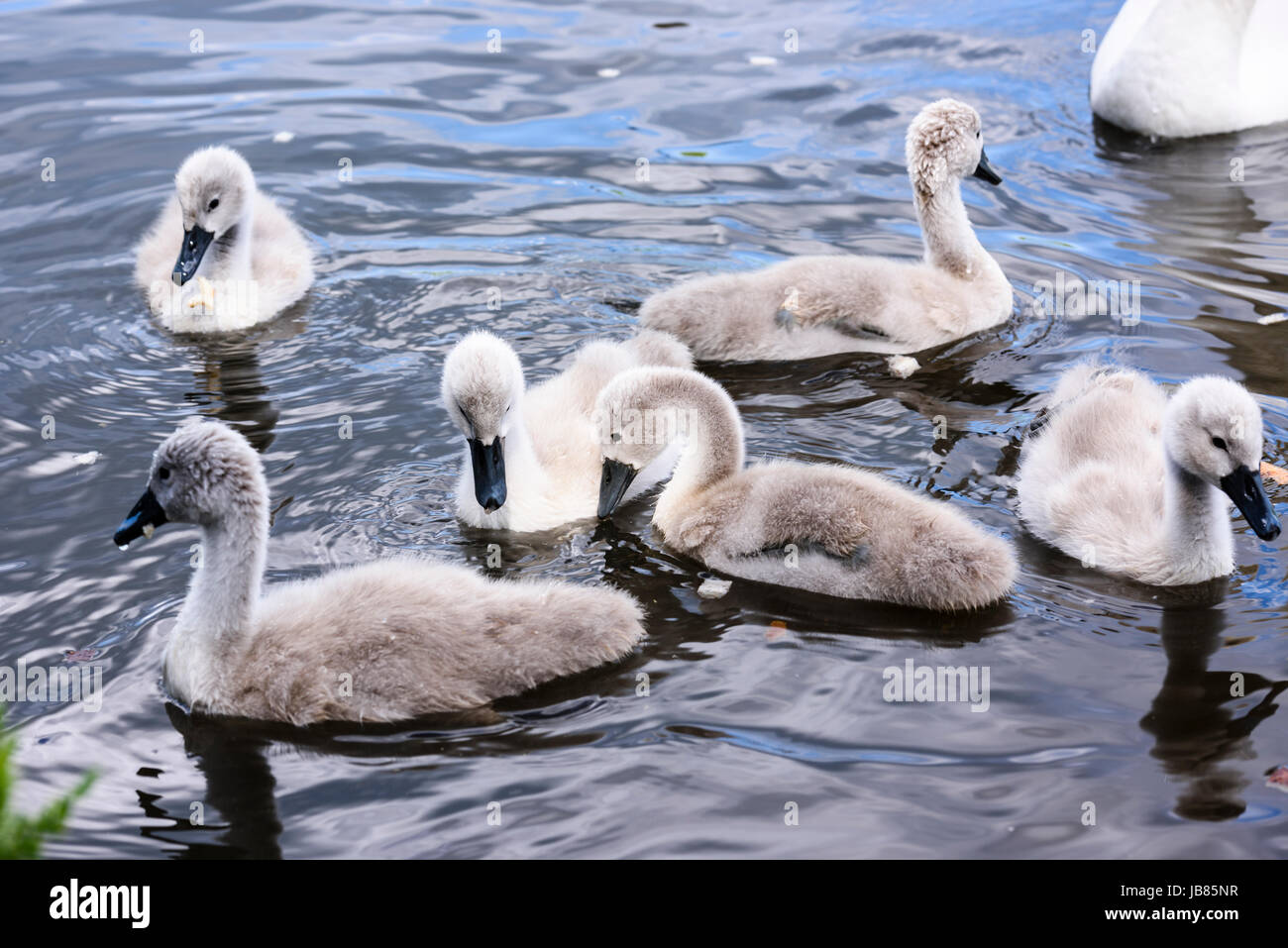Six 6 mute swan cygnets swimming in a lake while the mother looks on. Stock Photo