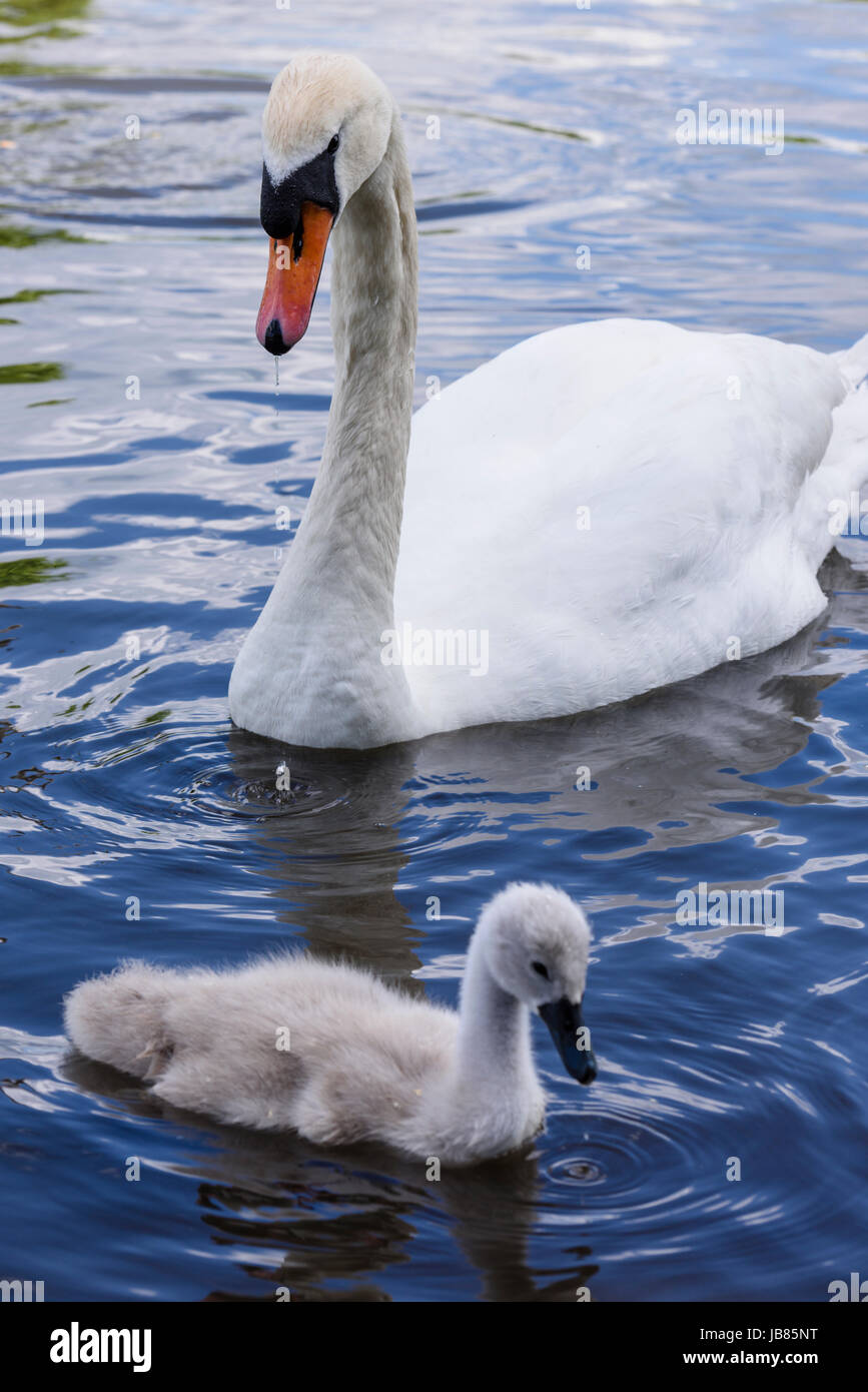 Female mute swan with one cygnet swimming in a lake - Stock Image