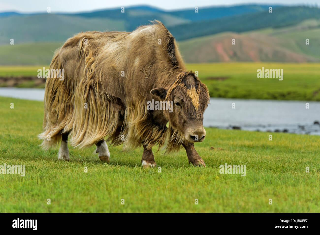 Yak (Bos mutus) with long light brown hair. Orkhon Valley, Khangai Nuruu National Park, Oevoerkhangai Aimag, Mongolia - Stock Image