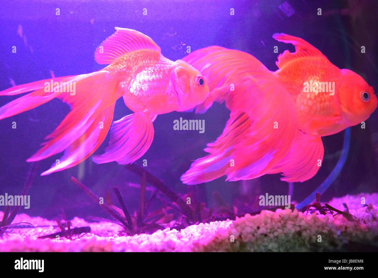 Goldfish in a home aquarium - Stock Image