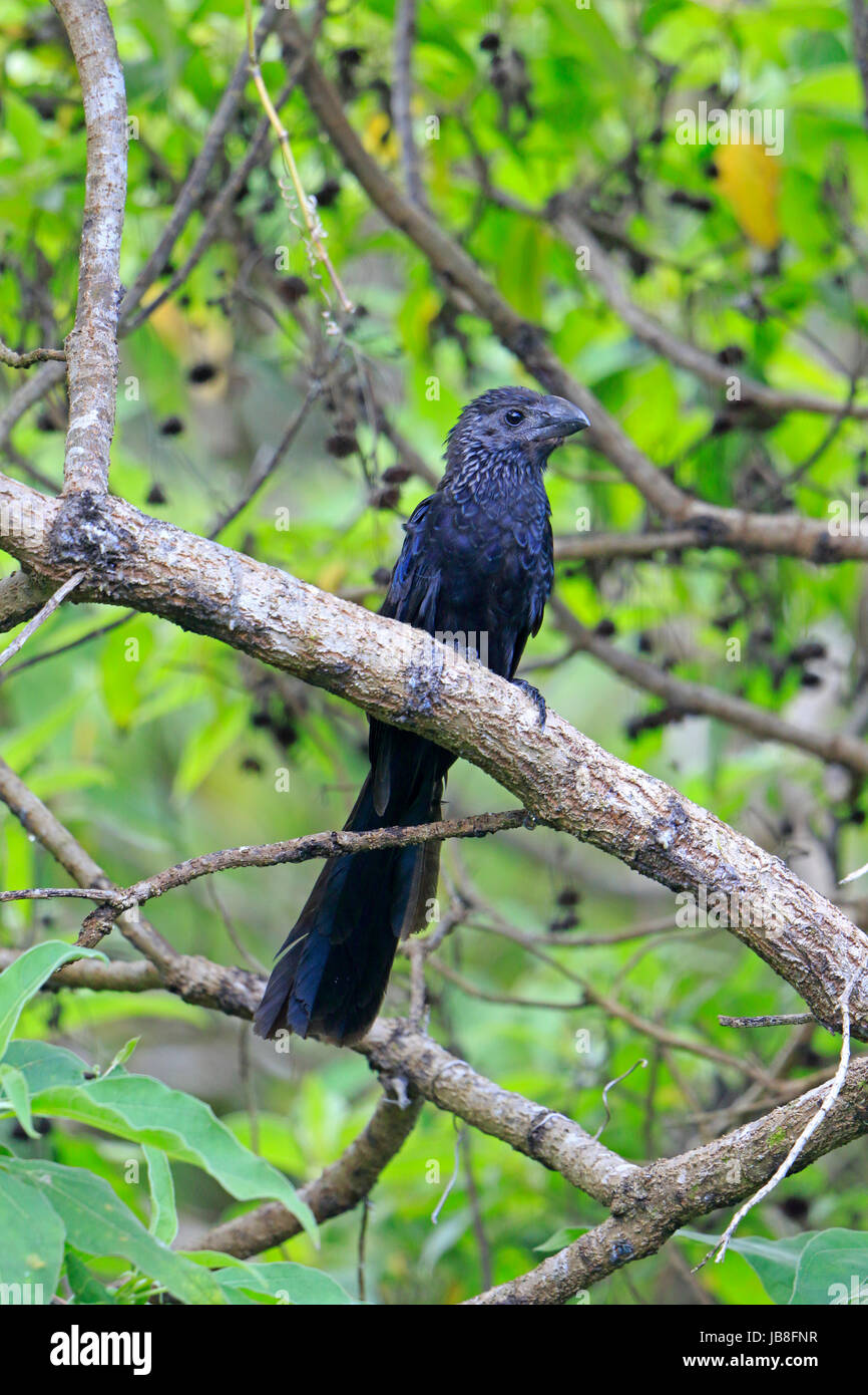 Smmoth-billed Ani ina tree in the Galapagos - Stock Image