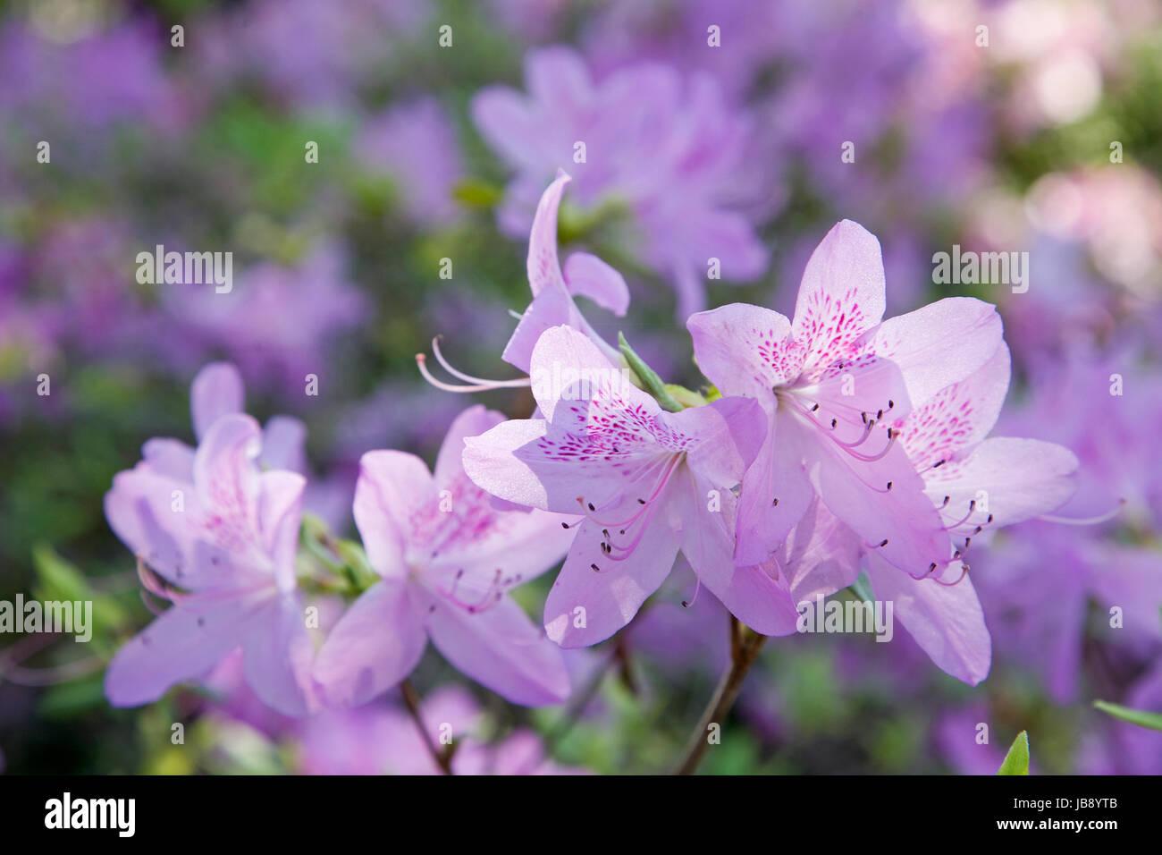 Spring Blooms At The Dallas Arboretum - Stock Image