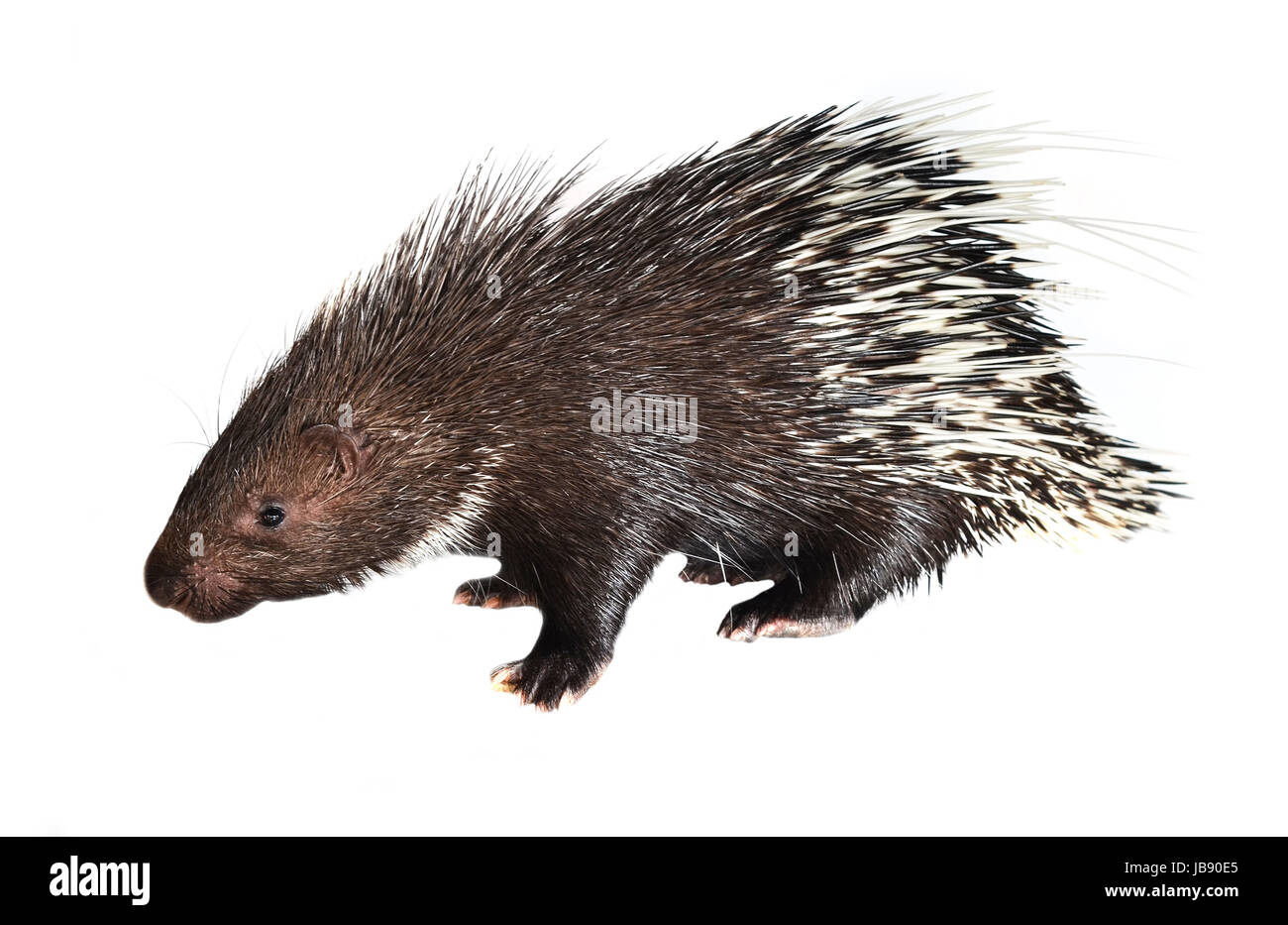porcupine isolated on white background - Stock Image