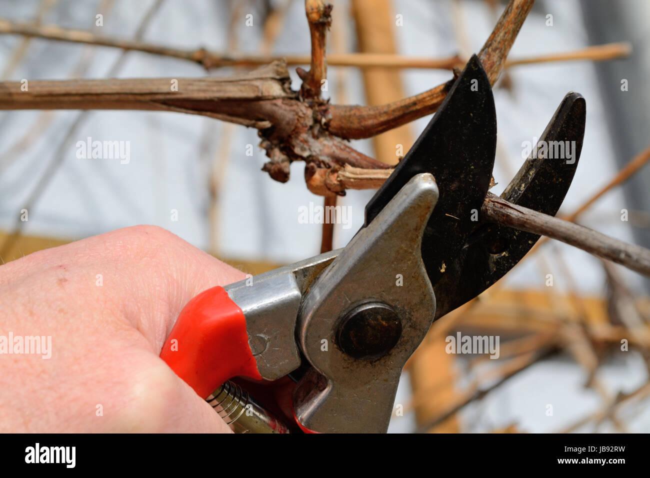 Person schneidet Weinrebe mit Gartenschere Stock Photo