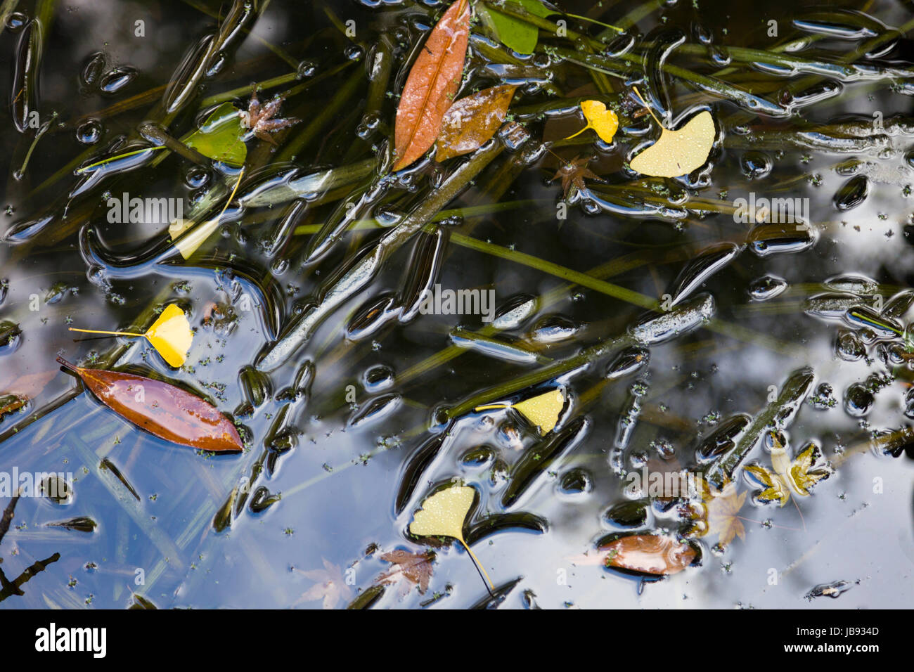 Dried leaves floating on lake water. - Stock Image