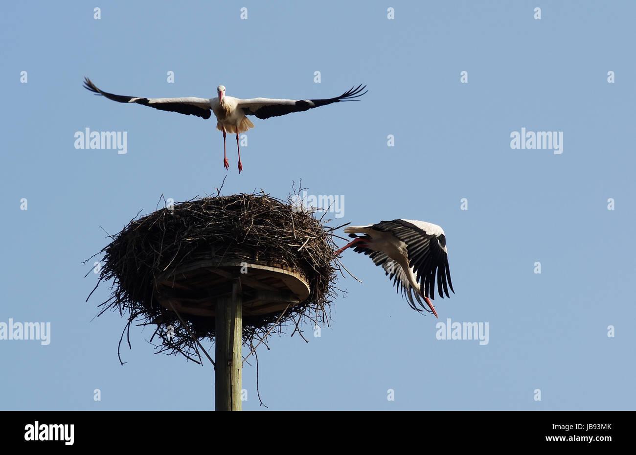 """Weißstorchpaar beim An- und Abflug von ihrem """"Horst"""" Stock Photo"""