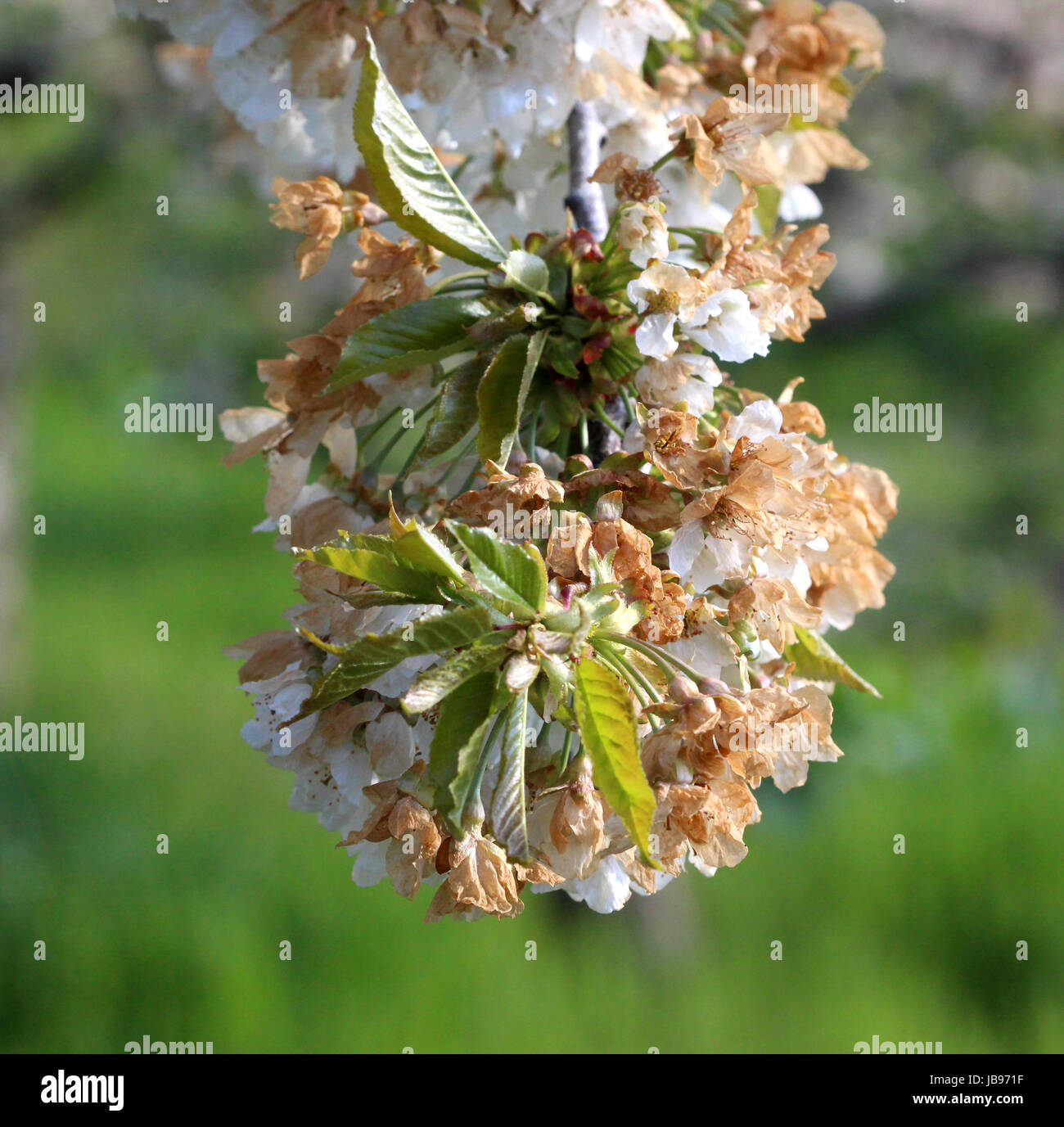 cherry blossom damaged by morning frost in region of prespa,macedonia,iamge of a - Stock Image