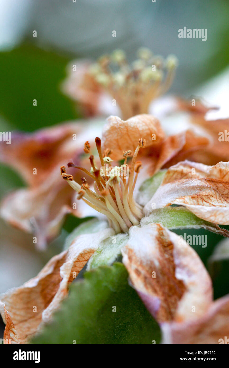 apple blossom damaged by morning frost in region of prespa,macedonia,iamge of a - Stock Image
