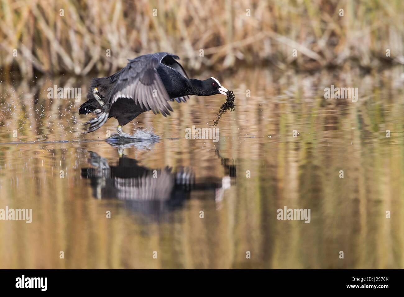 coot Stock Photo