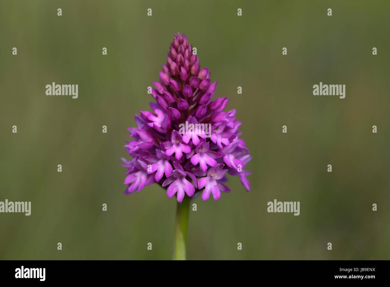 Pyramidal orchid (Anacamptis pyramidalis), flowering, Orchideenparadies Wasserliesch, Moselle, Rhineland-Palatinate, Stock Photo