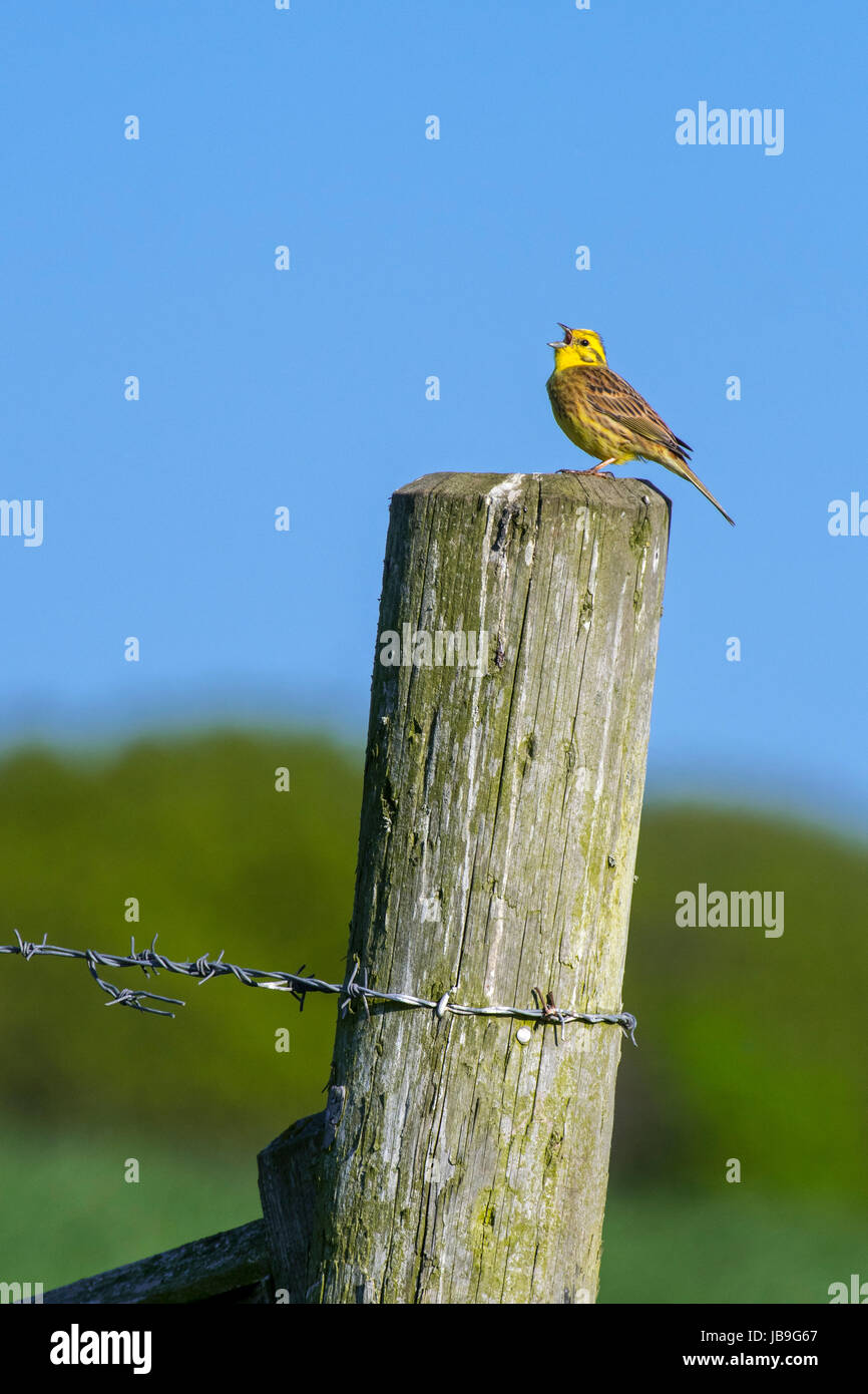 Male yellowhammer (Emberiza citrinella) calling from wooden fence post along field - Stock Image