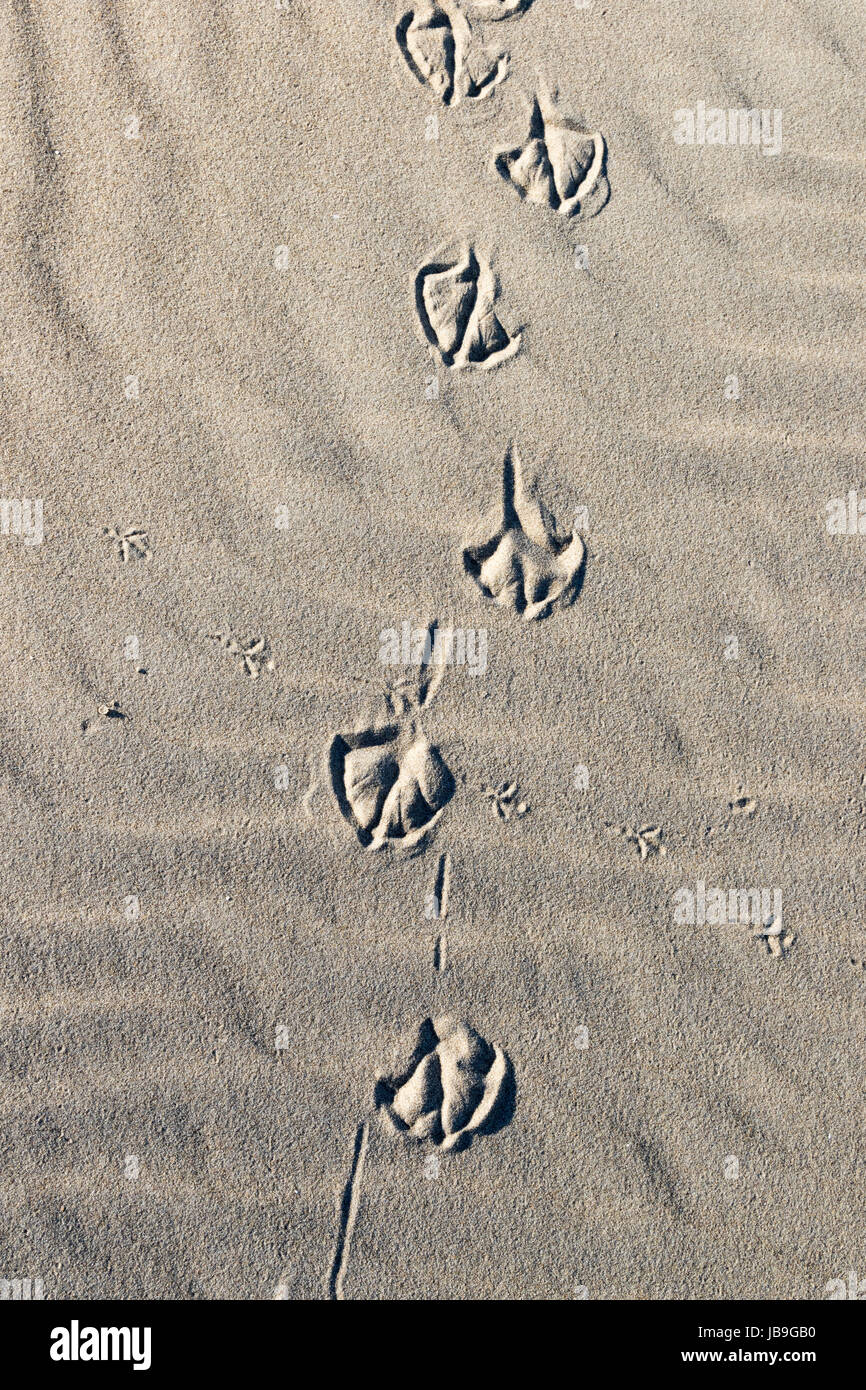 Animal tracks in the sand, dunes, mudflat, North Sea, North Holland, Netherlands - Stock Image
