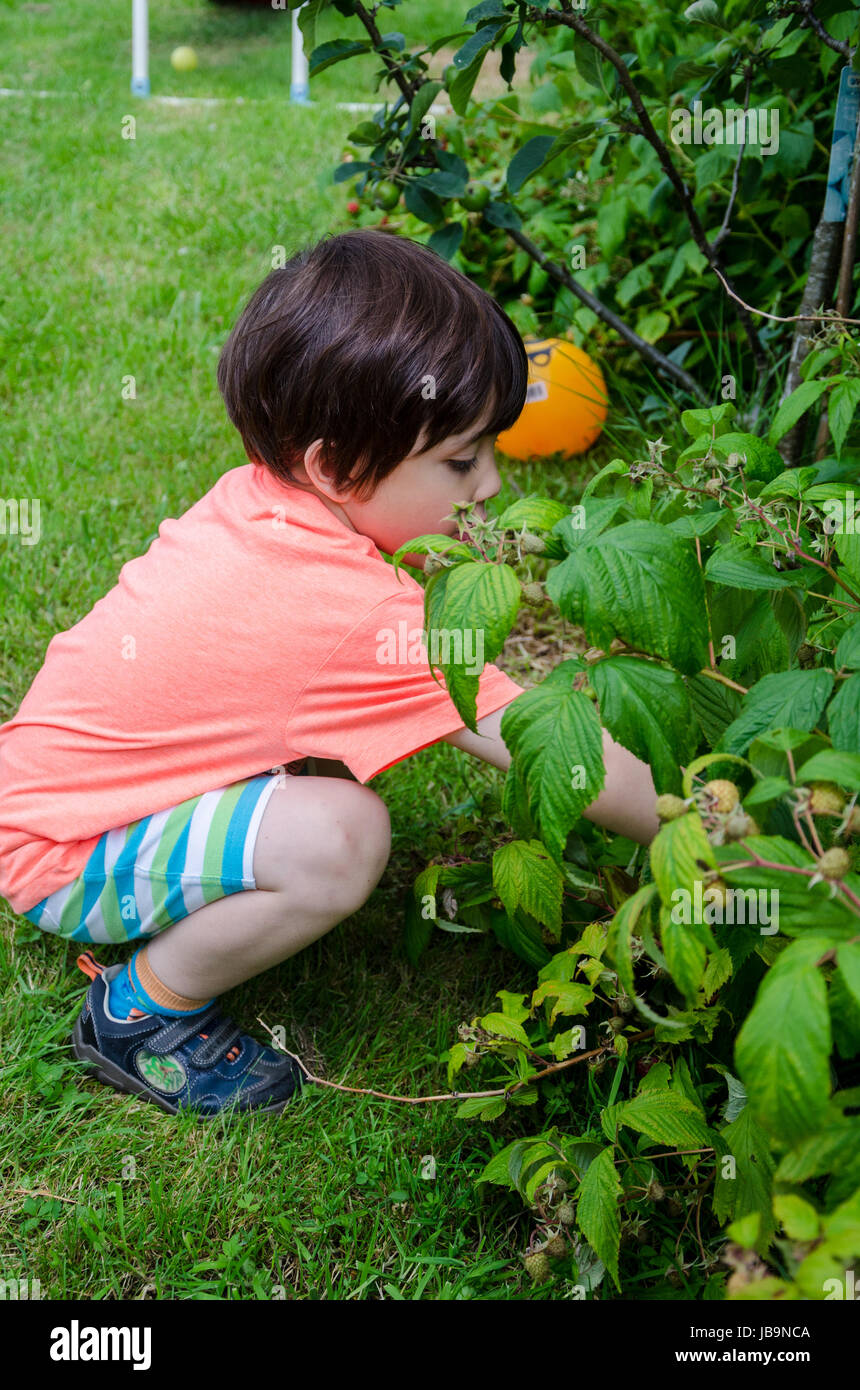A young boy squatting down to pick raspberries at home in the back garden. - Stock Image