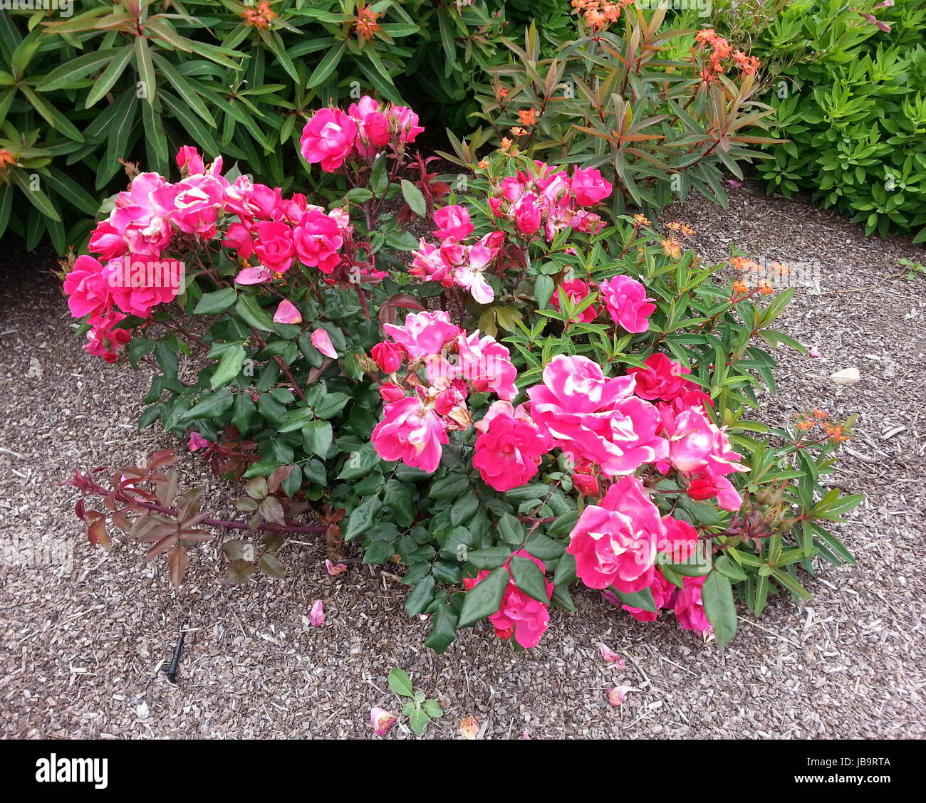 Bright Pink Rose Bush Stock Photos Bright Pink Rose Bush Stock