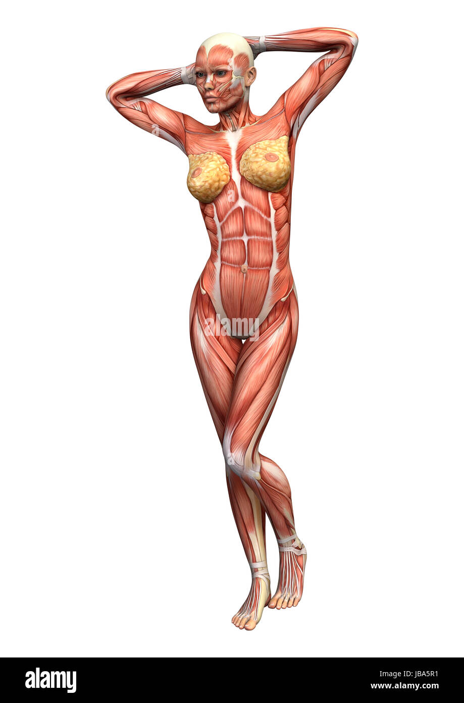 3D digital render of a female anatomy figure with muscles map Stock ...