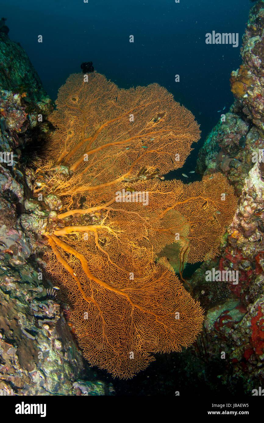 Healthy orange gorgonian sea fans hanging between walls in the deep blue water in Myanmar Stock Photo