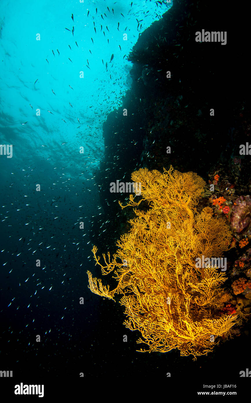 Healthy bright yellow gorgonian sea fans hanging on a wall in the crystal clear blue water in Myanmar - Stock Image