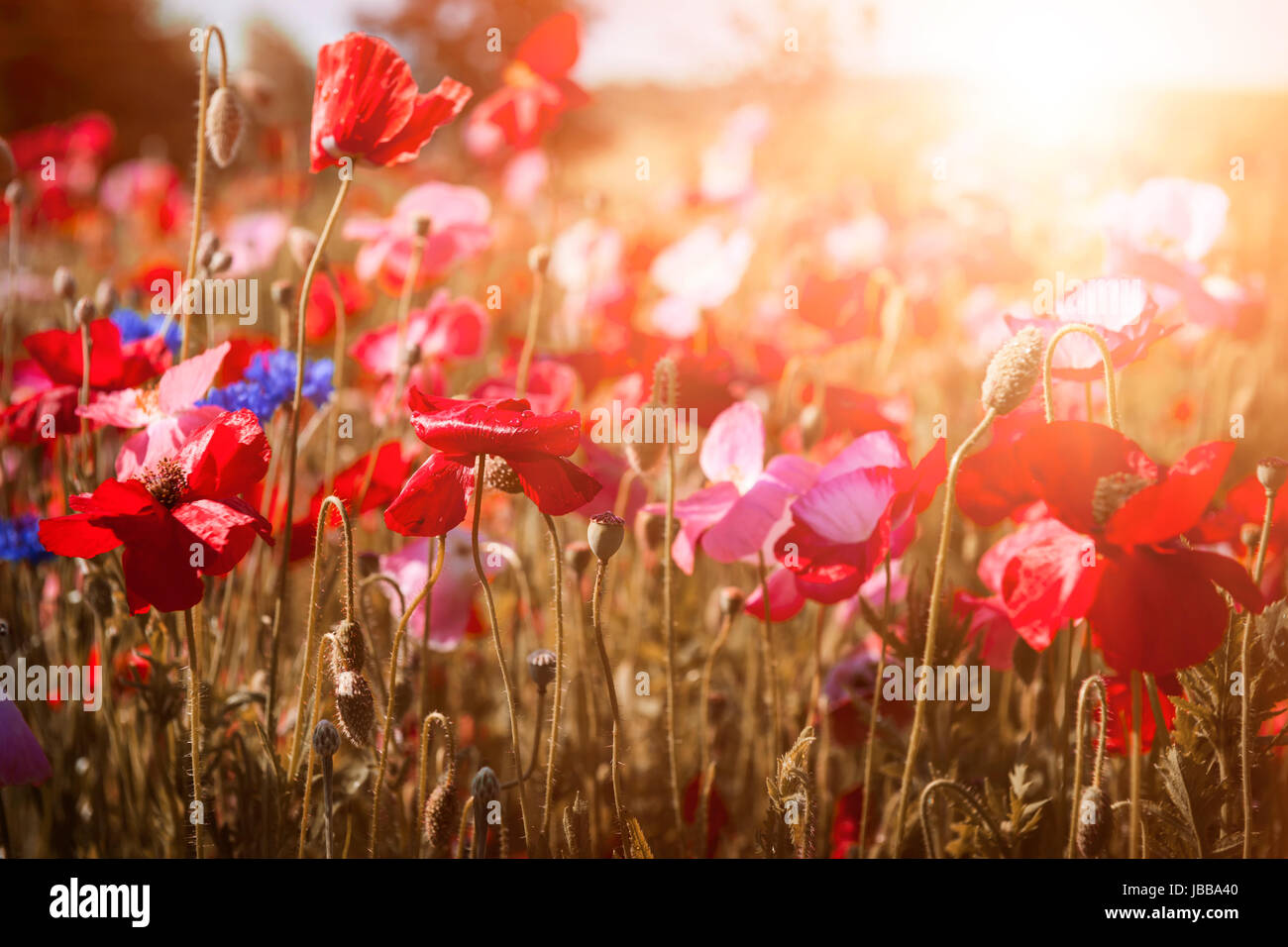 Red and pink poppies with wildflowers in sunny summer meadow Stock Photo