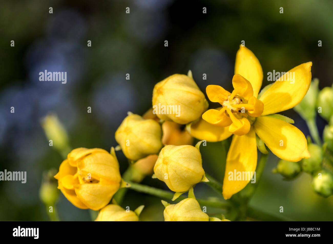 Yellow Elder Stock Photos Yellow Elder Stock Images Alamy