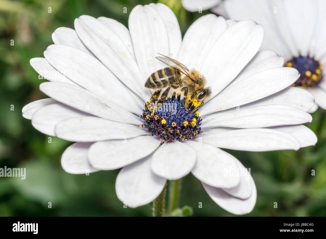 Bee On White Flower With Violet Stamen And Pollen Stock Photo