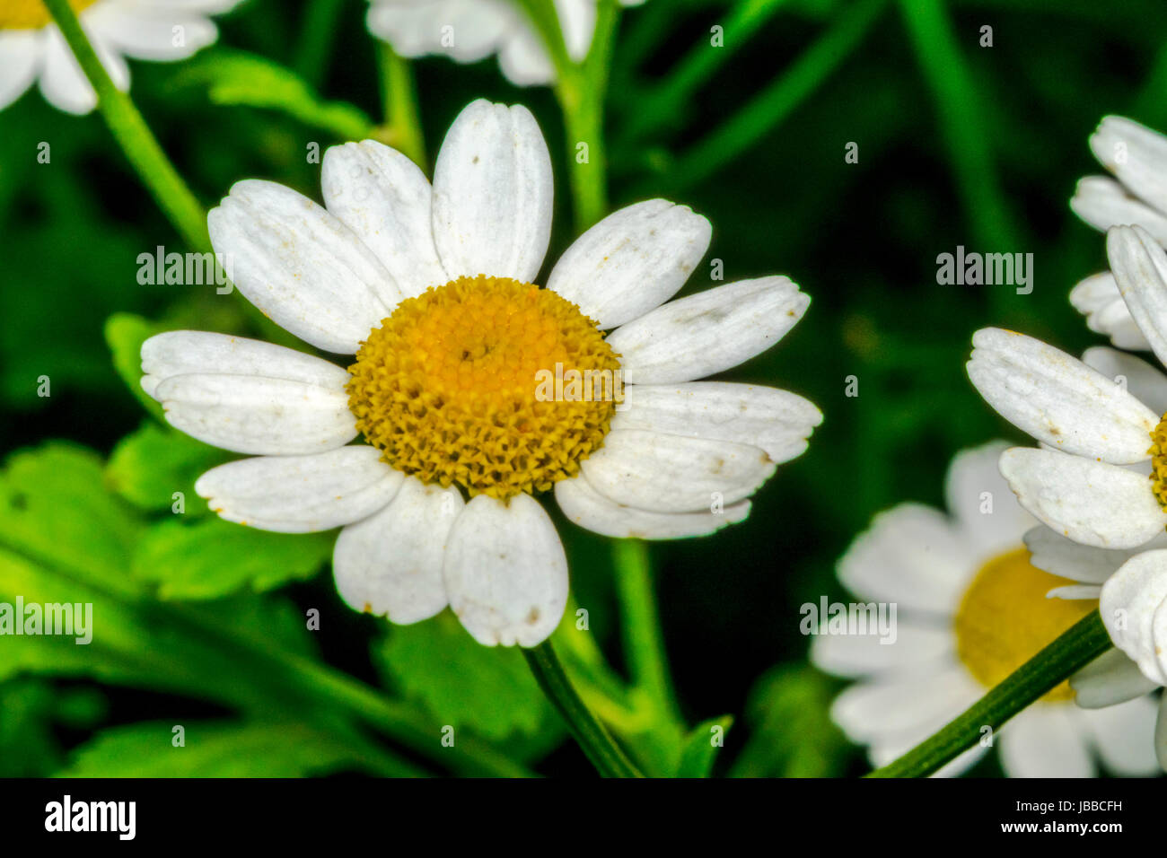 Little daisy stock photos little daisy stock images page 2 alamy little daisy flowers in a garden stock image izmirmasajfo