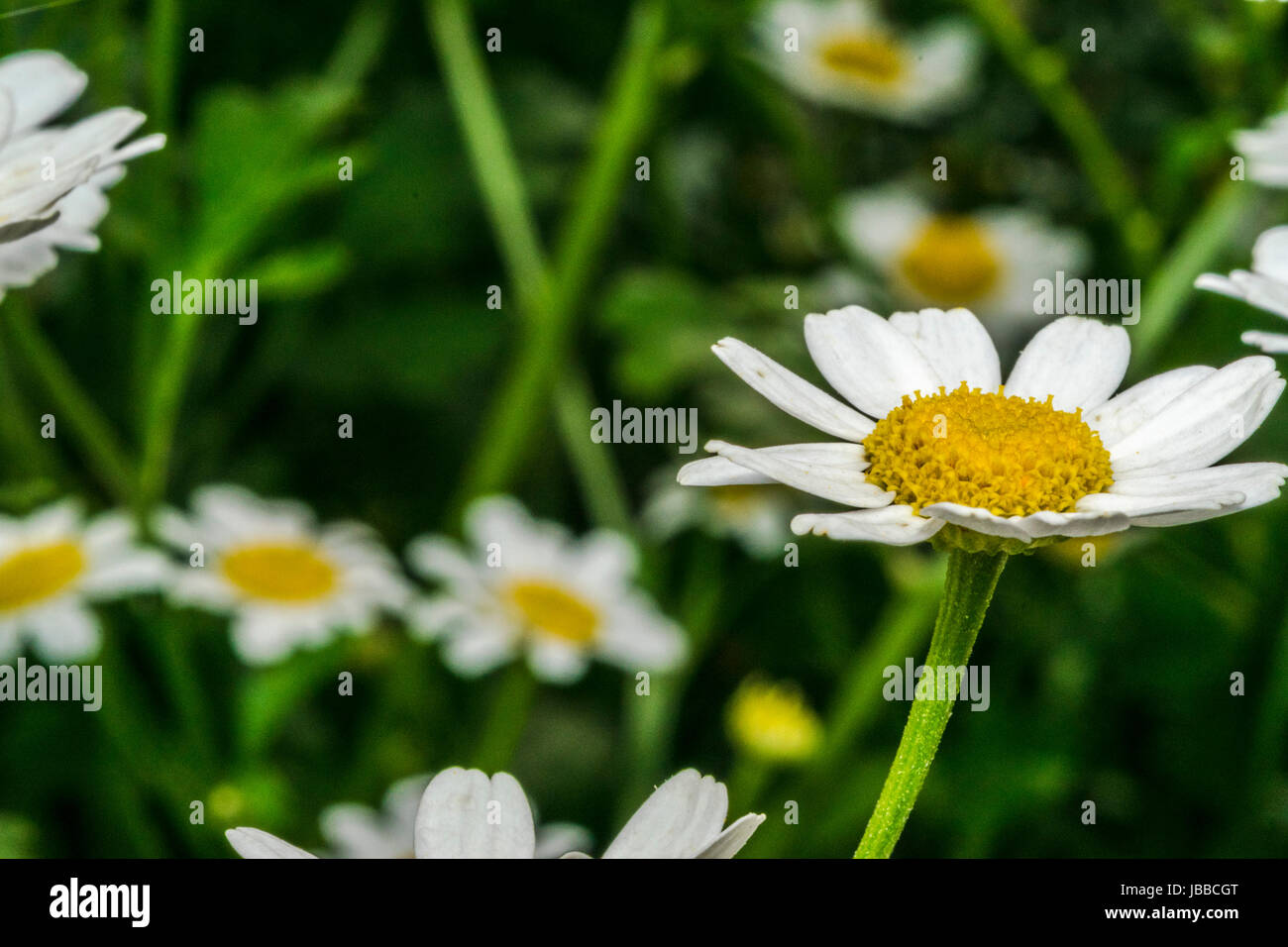 Little daisy stock photos little daisy stock images alamy little daisy flowers in a garden stock image izmirmasajfo