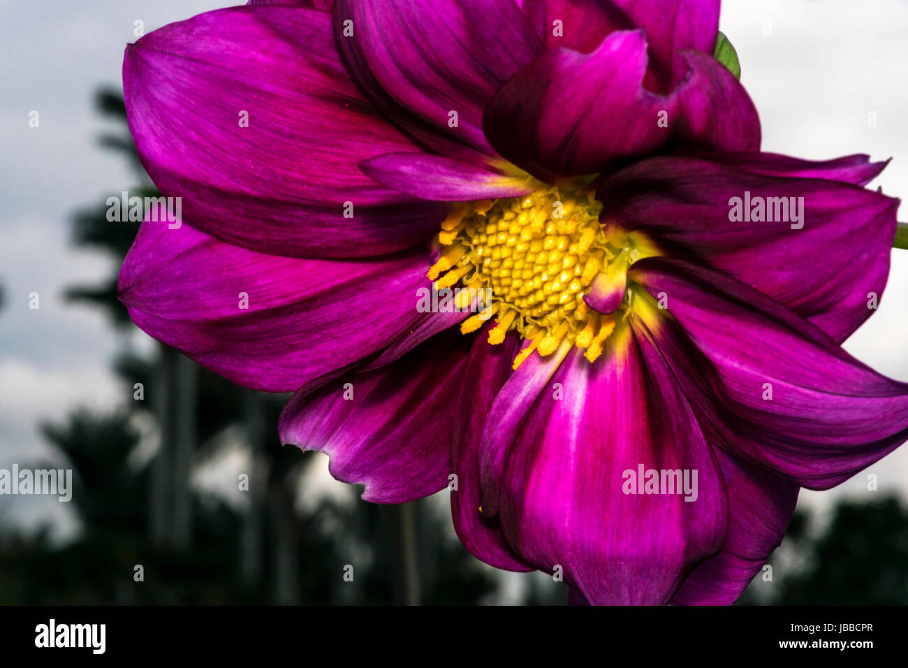 Yellow stamen with pollen on a purple flower stock photo 144695679 yellow stamen with pollen on a purple flower mightylinksfo