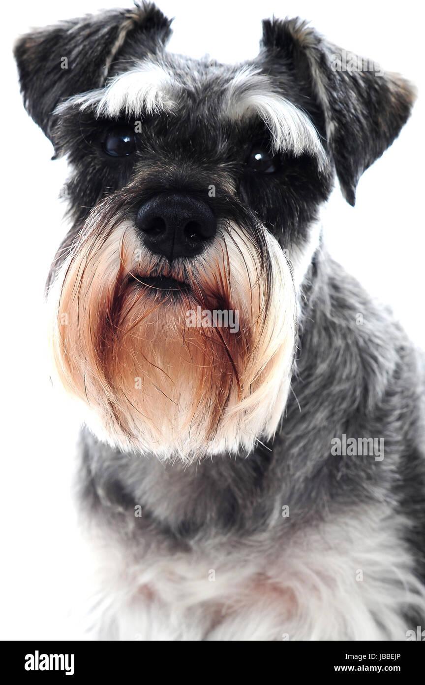 Black Schnauzer dog against white backdrop - Stock Image