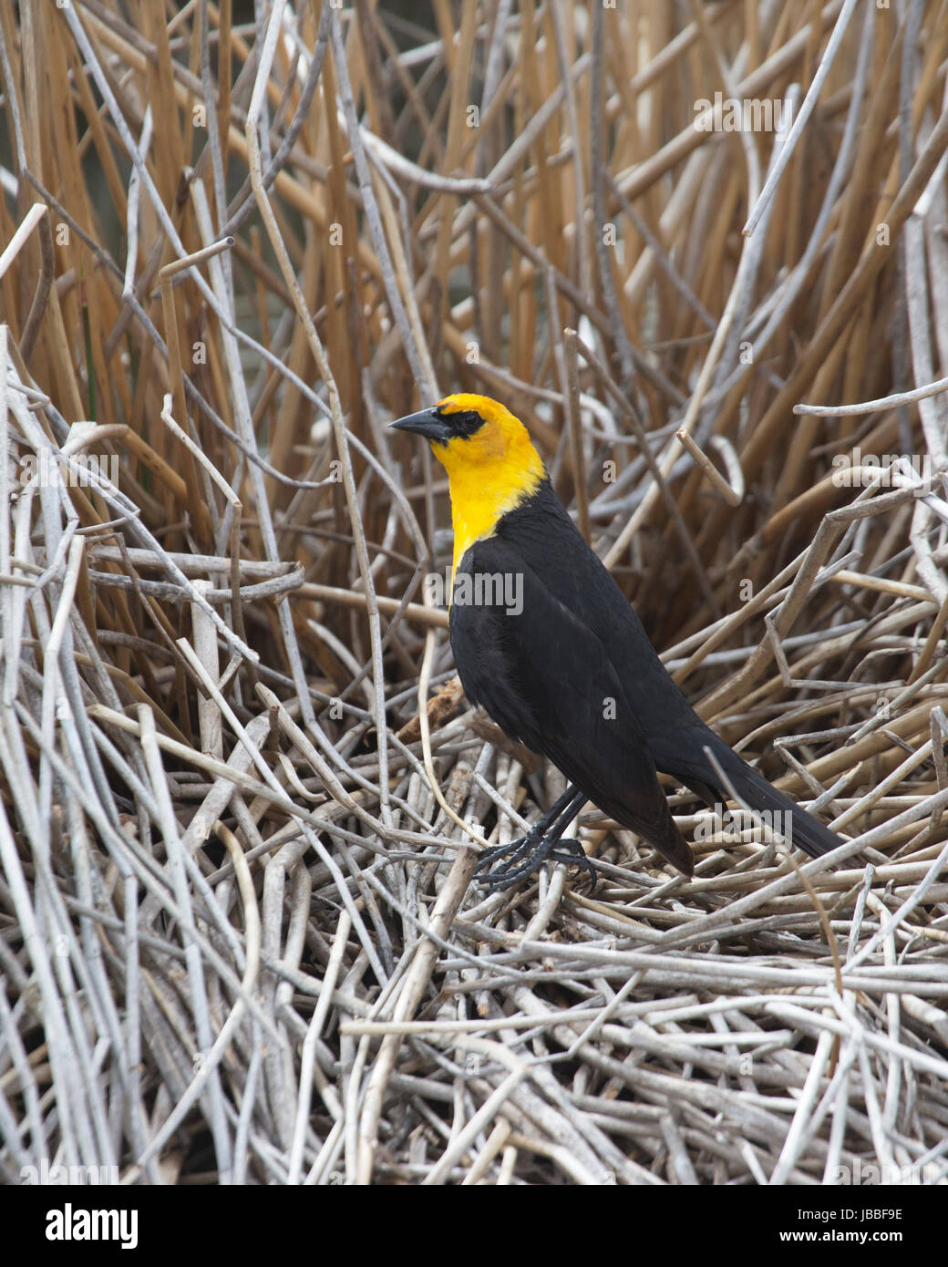 Yellow-headed blackbird male (Xanthocephalus xanthocephalus) perched on reeds in marsh breeding habitat at Frank Stock Photo
