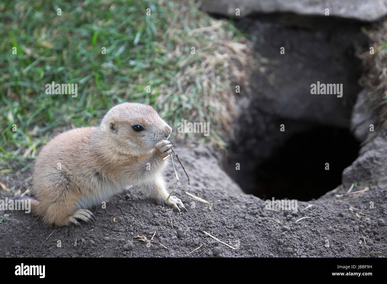 Baby Black-Tailed Prairie Dog (Cynomys ludovicianus) eating grass at entrance to burrow - Stock Image