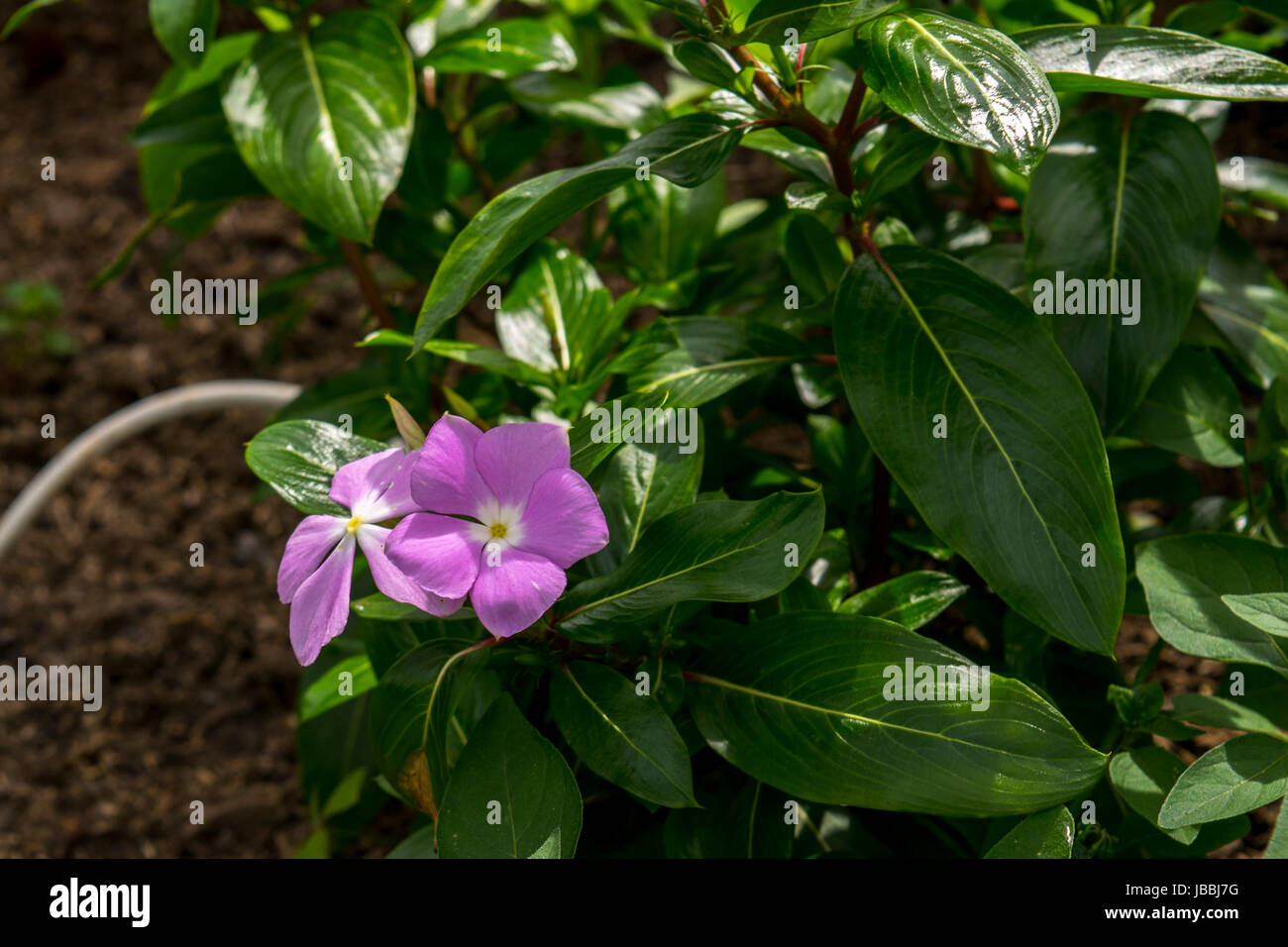 Little pink periwinkles flower in the wild Stock Photo